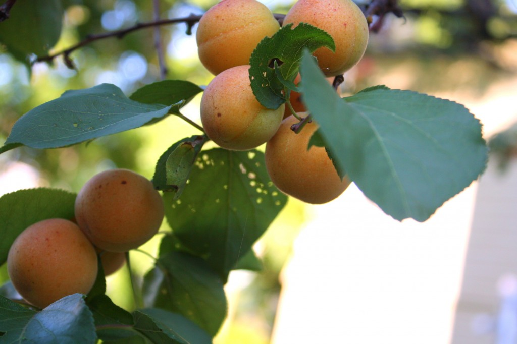 apricots on the three