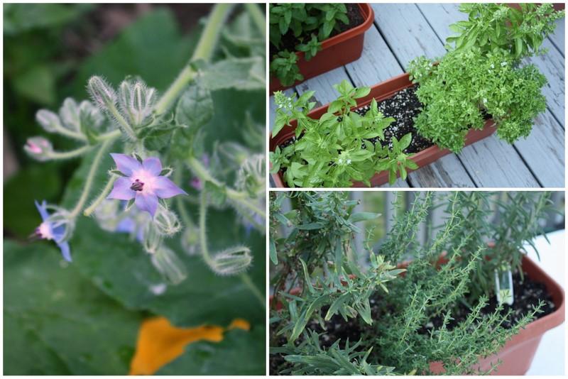 summer herbs collage
