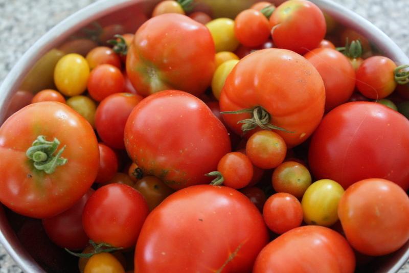 tomato harvest mid-august