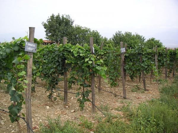 georigian-vineyards