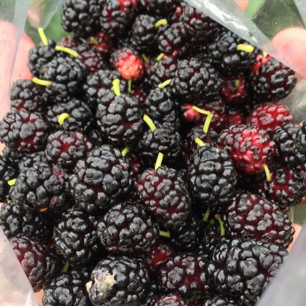 foraged-mulberries-queens-ny
