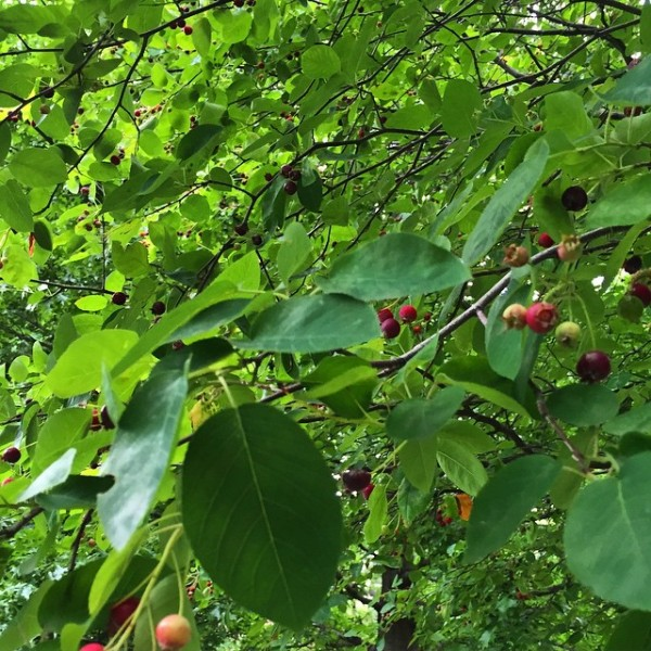 serviceberry-tree-queens-ny